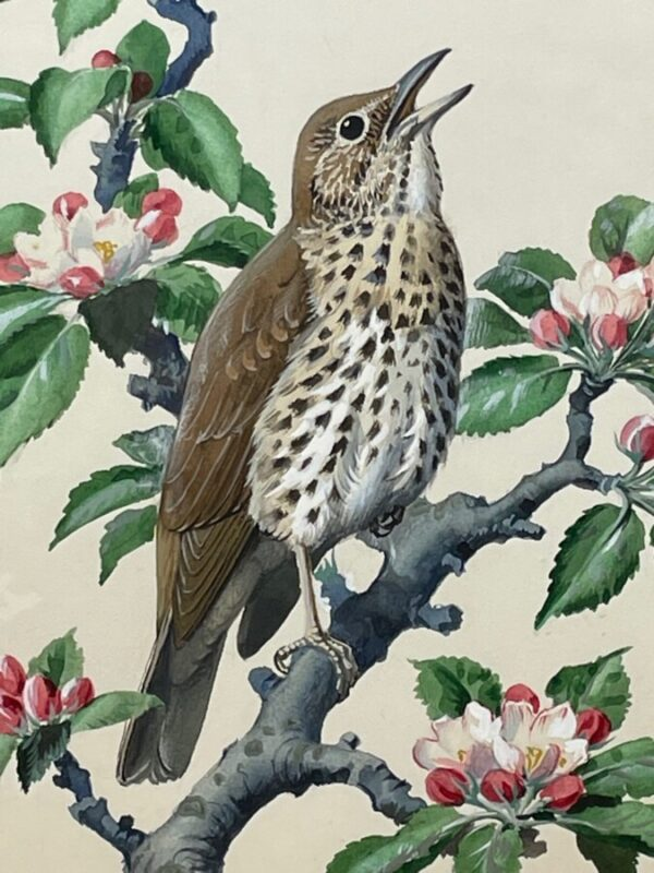 """Watercolour """"Chirping Song Thrush Bird"""" By Charles Frederick Tunnicliffe OBE RA art Antique Art 6"""