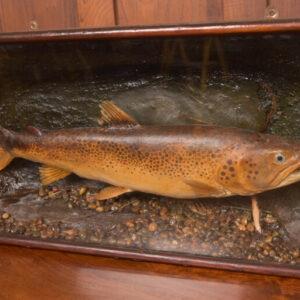Taxidermy Brown Trout SAI2416 Miscellaneous